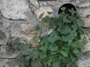 leaves growing on a drainage pipe