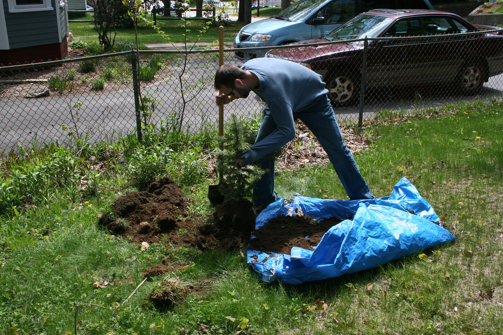 Doing a tree transplanting in the backyard.